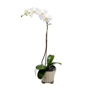 Lasting Memories Orchid