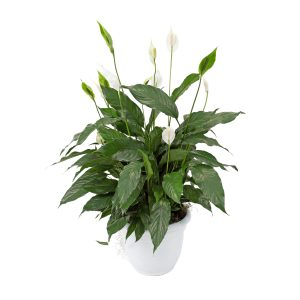 Lasting Memories Peace Lily